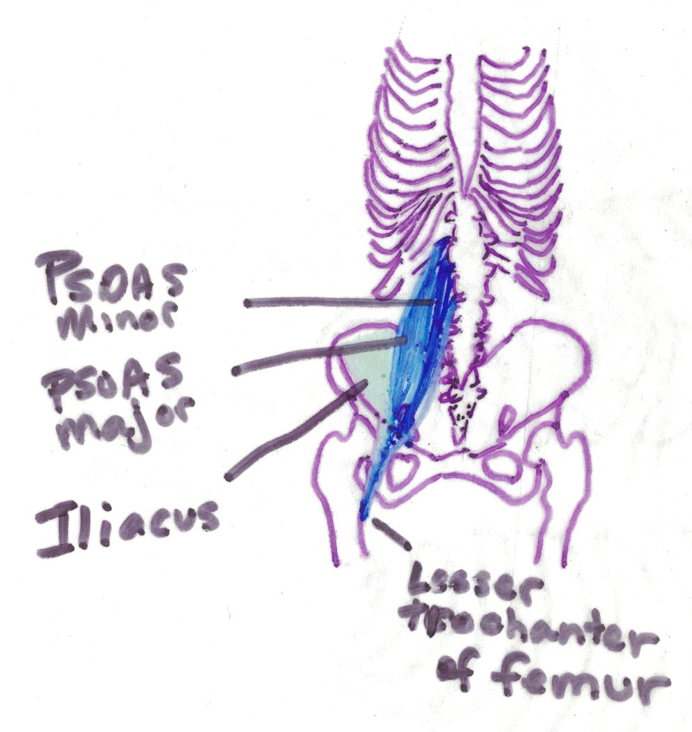 color diagram of ribcage and iliopsoas muscle group